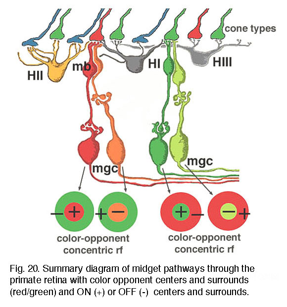 we believe that l- and m-midget ganglion cell responses are organized in  the manner shown in figure 20  an l-cone would contact two l-cone midget  bipolars