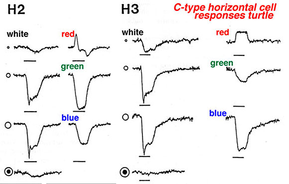 Webvision: Physiology of Horizontal Cells